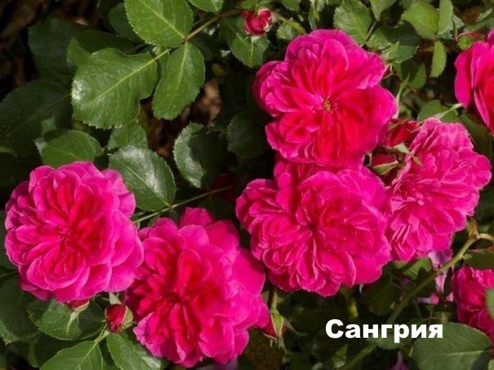 Вид флорибунды - Сангрия