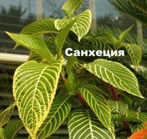 Растение Санхеция