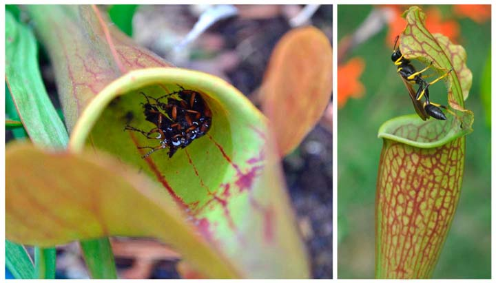 Растение - хищник Саррацения