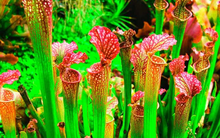 Растение Саррацения