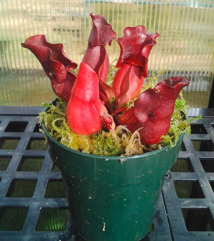 Саррацения Веноза Красная (лат. SarraceniaVenosaRed)