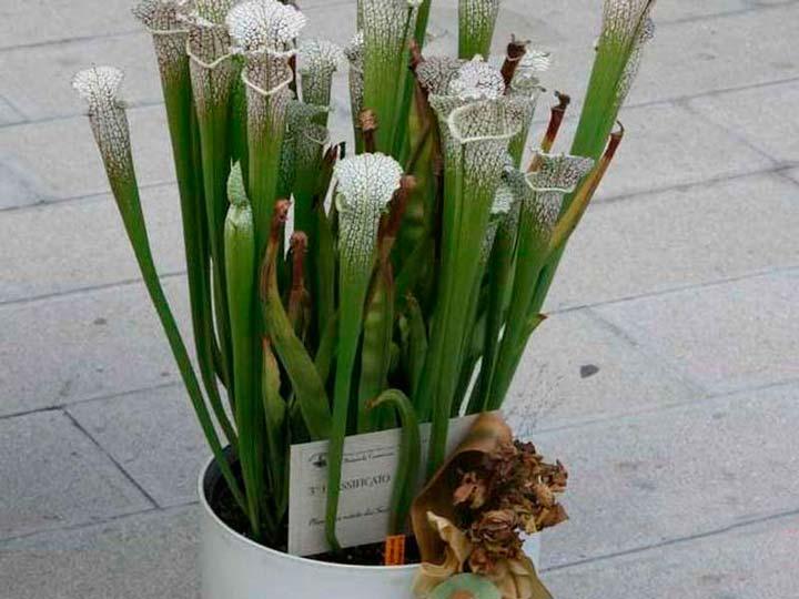 Цветок Саррацении белолистной