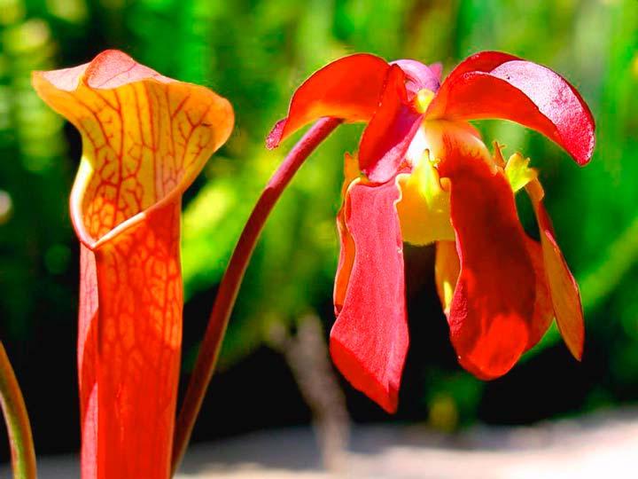Цветок Саррацении красной