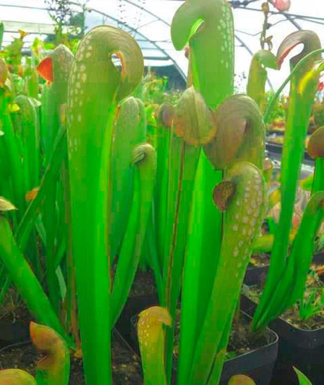 Цветок Саррацении малой