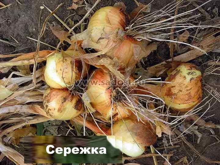 Сорт лука-шалот - Сережка