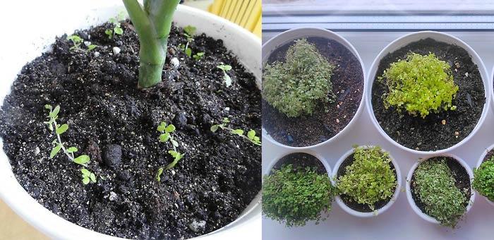 Деелние куста и размножение солейролии