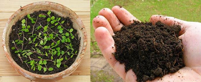 Гумус и посадка солейролии