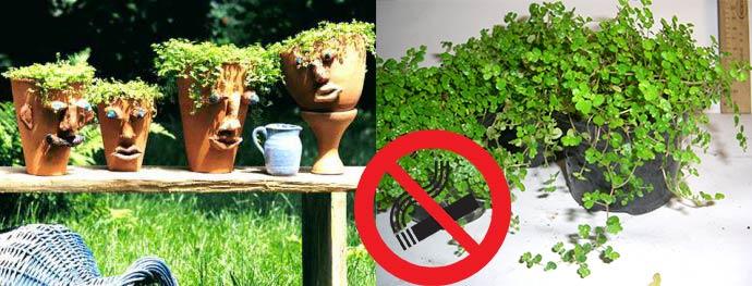 Солейролия в дизайне и дома не терпит курения и загозованности