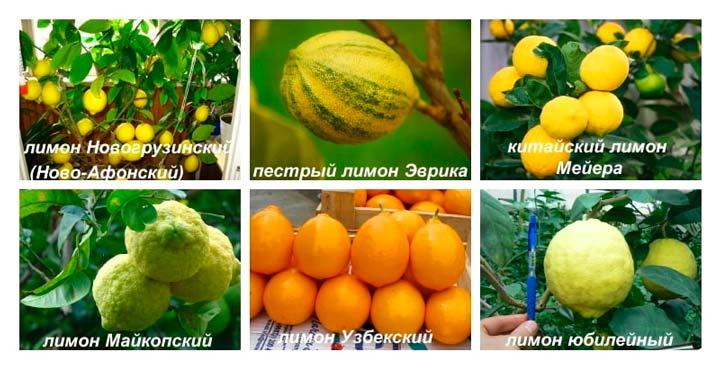 Основные сорта лимонов