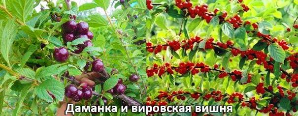 Даманка и вировская вишня