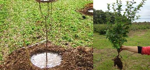Черенки и отводки войлочной вишни на посадку