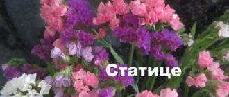 Растение статице