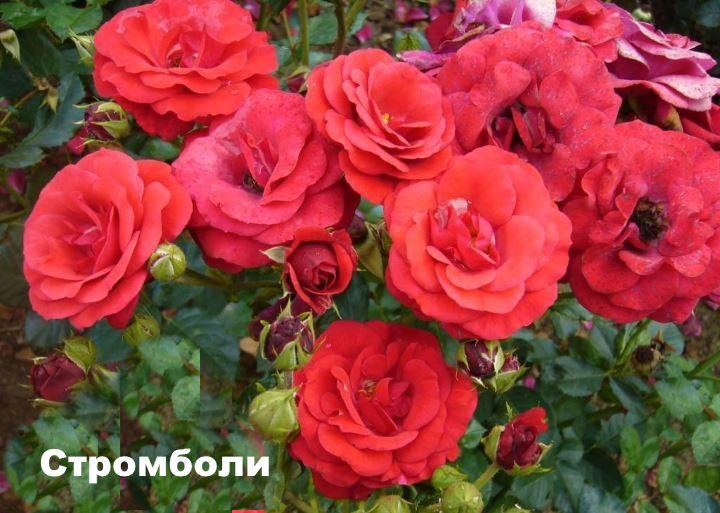 Вид флорибунды - Стромболи