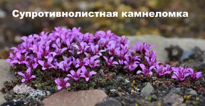 Вид растения - Супротивнолистная камнеломка