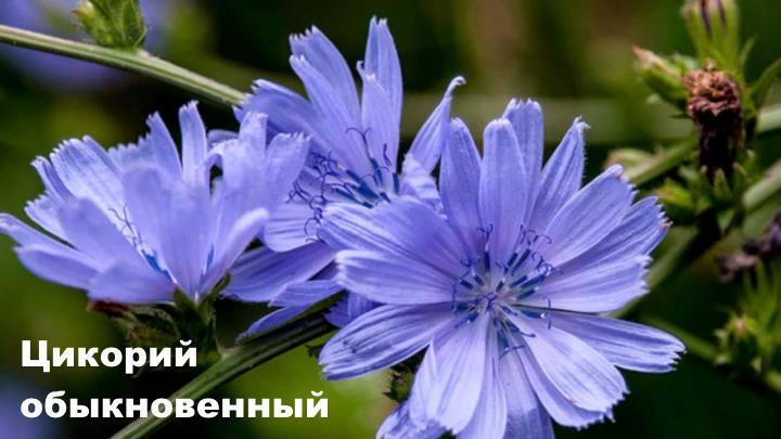 Луговой цветок - Цикорий обыкновенный