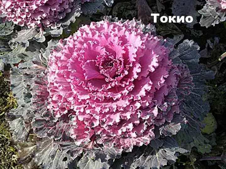 Декоративная капуста сорта Токио