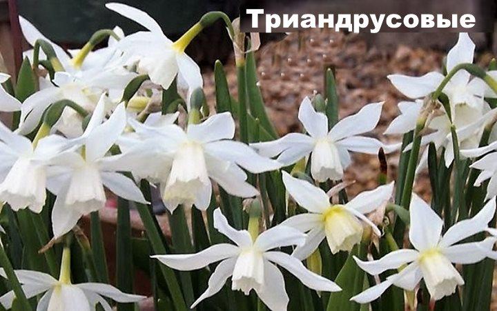 Группа нарциссов - Триандрусовые
