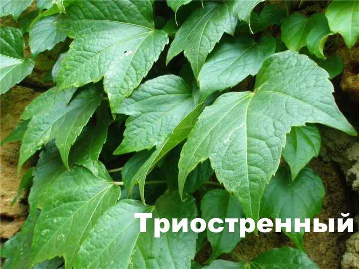 Вид растения - Триостренный девичий виноград