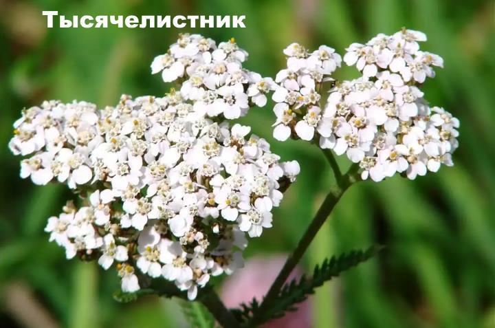 Луговой цветок - Тысячелистник