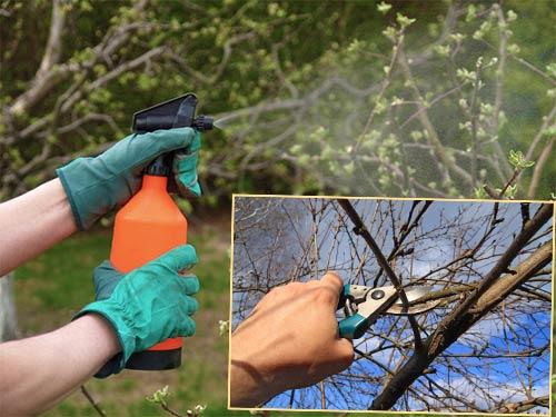 Опрыскивание и обрека вишни
