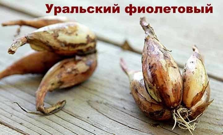 Сорт лука-шалот - Уральский фиолетовый