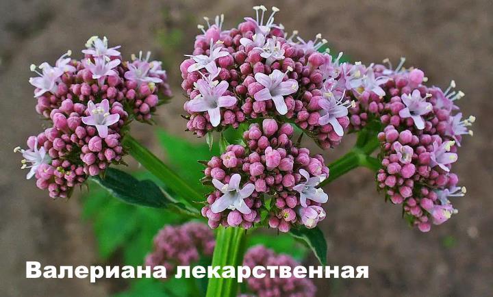 Луговой цветок - Валериана лекарственная