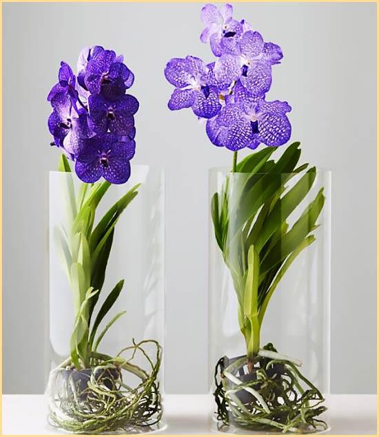 Орхидеи Ванда в вазах