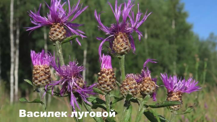 Луговой цветок - Василек луговой