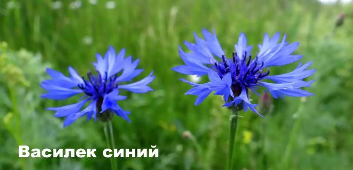 Луговой цветок - Василек синий
