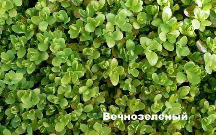 Вид самшита - Вечнозеленый