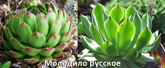 Молодило русское