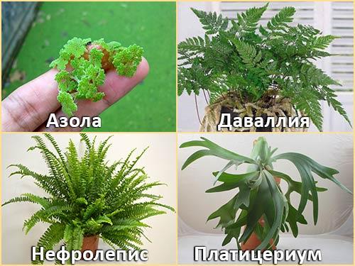 Азола, Даваллия, Нефролепис, Платицериум