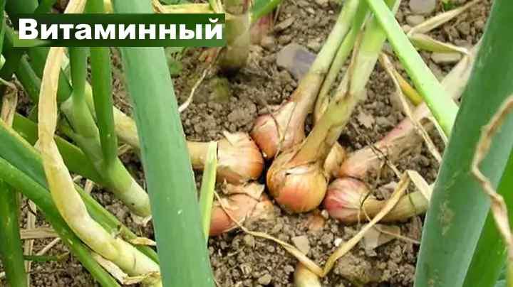Сорт лука-шалот - Витаминный