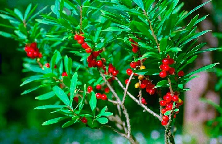 Ядовитое растение Волчье Лыко
