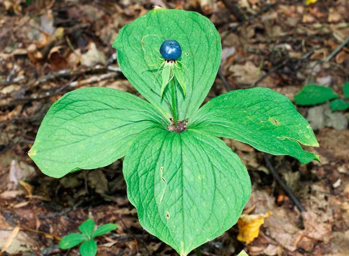 Ядовитое растение Вороний глаз
