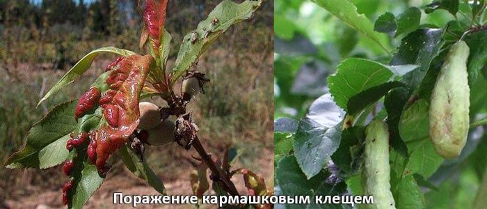 Поражение кармашковым клещем листьев вишни