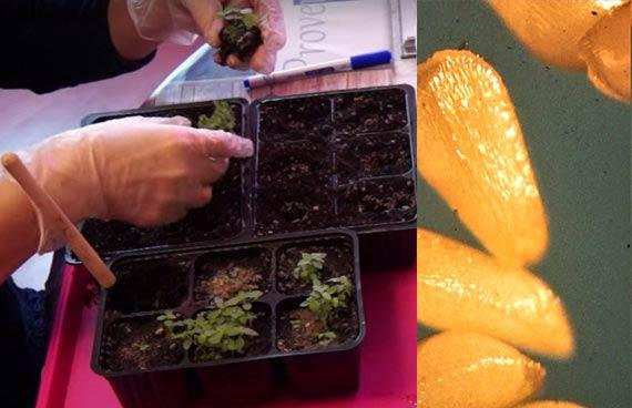 Семена дербенника и посадка рассады
