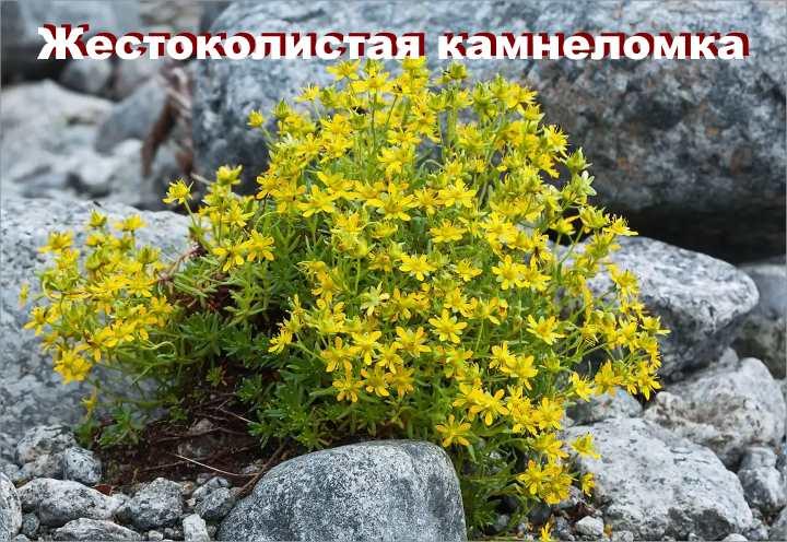 Вид растения - Жестоколистая камнеломка