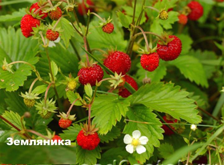 Луговой цветок - Земляника