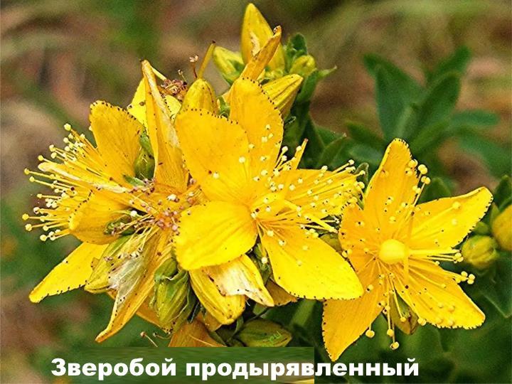 Луговой цветок - Зверобой продырявленный