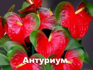 Растение антуриум