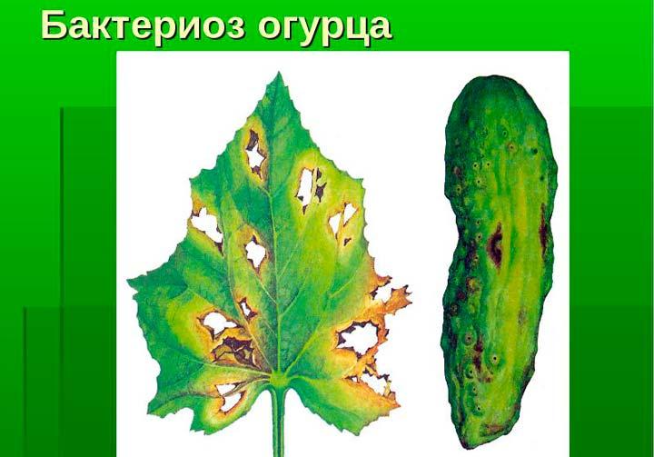 Бактериоз огурцов