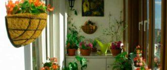 Балкон - отлично подходящее место для выращивания саррацении
