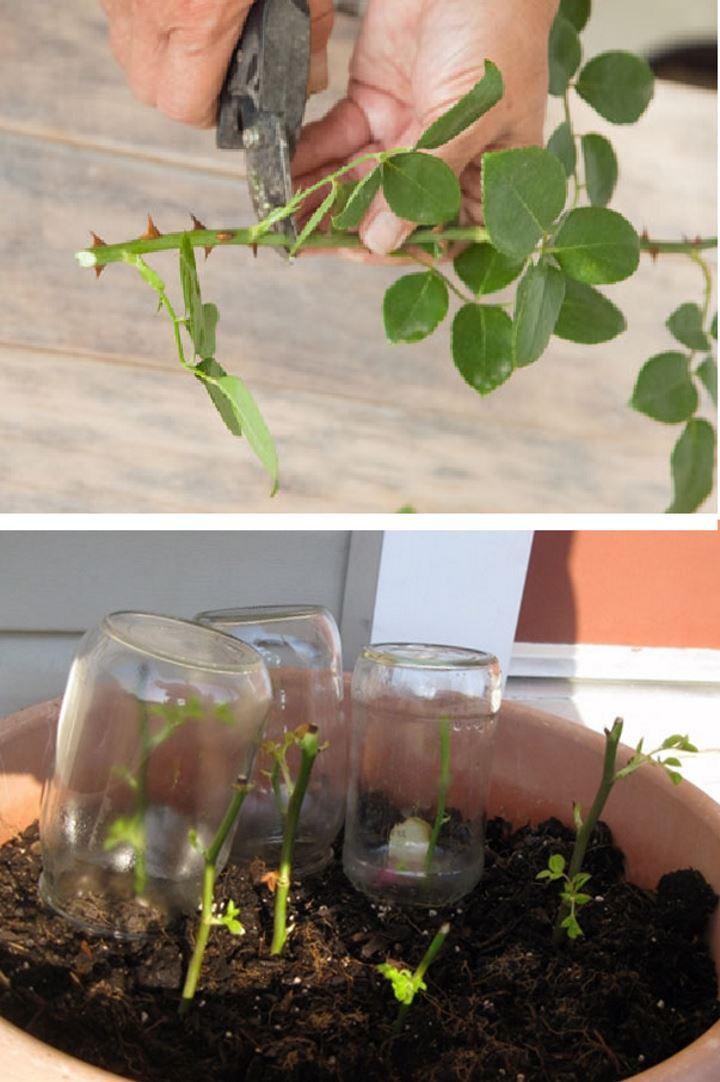 Как вырастить домашнюю розу из черенка, цветов сша