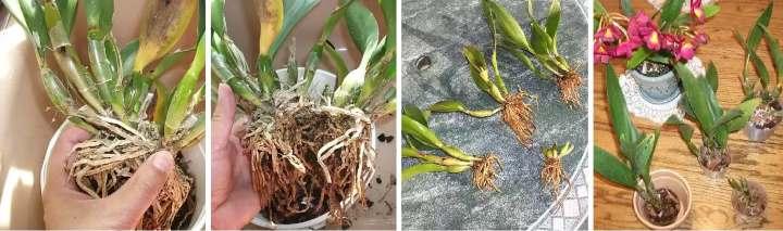 Пошаговое деление куста орхидеи