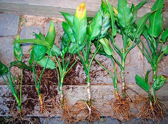 Размножение аглаонемы делением растения