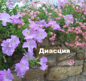 Растение диасция
