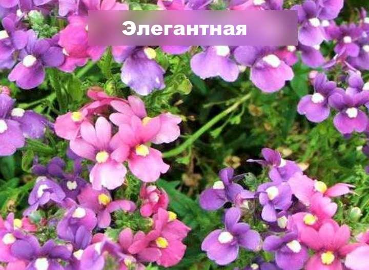 Вид растения - диасция элегантная