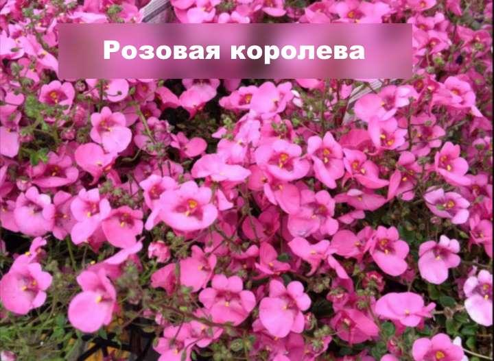 Вид растения - диасция розовая королева