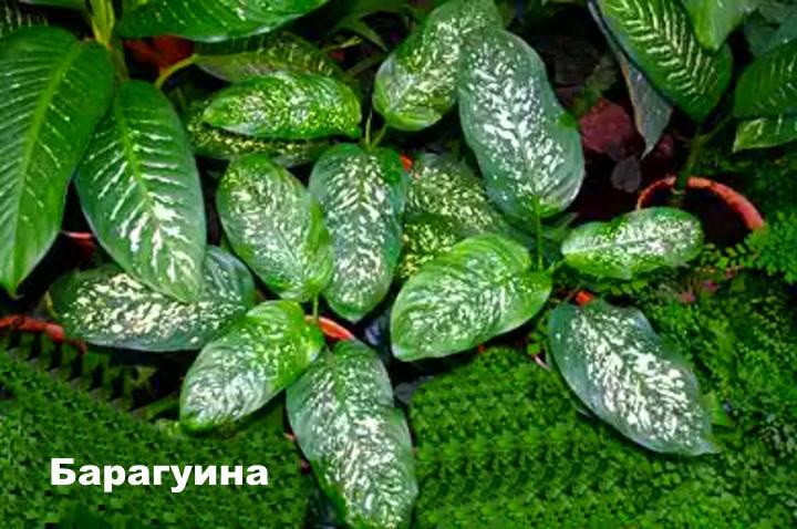 Вид растения Диффенбахия - Барагуина